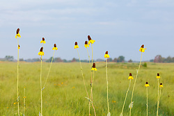 Silhouette of Great coneflower (Rudbeckia maxima Nutt.) on the Daphne Prairie, a remnant of the Blackland Prairie, Mount Vernon, Texas, USA. Check identification.