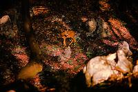 Roe deer (Capreolus capreolus) buck in ancient Tilia woodland of national park Djerdab, Serbia
