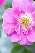 Rosa 'Californica Plena' - species hybrid