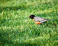 American Robin. Image taken with a Fuji X-T1 camera and 100-400 mm OIS lens.