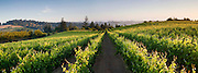 Summer sunrise in the Sebastopol Hills wine region, from Chasseur Wine's Ray Hill Vineyard in western Sonoma County.