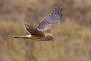 A northern harrier (Circus cyaneus) flies low over a field near Boundary Bay in southern British Columbia, Canada. Northern harriers frequently fly low over fields and marshes in search of small birds and mammals, which they catch with a sudden pounce.