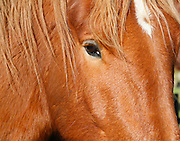 Close up head and open eye face of brown Suffolk Punch heavy horse