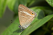 Long Tailed Blue Butterfly, Lampides boeticus, male, Controlled situation, UK, resting on leaf, underside of wings,