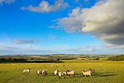 Sheep grazing in Oxforshire, United Kingdom