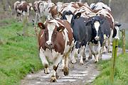 Nederland, Overasselt, 1-10-2019De koeien lopen over een pad naar de wei .FOTO: FLIP FRANSSEN
