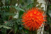 Brownea Flower (Brownea macrophylla)<br /> Yasuni National Park, Amazon Rainforest<br /> ECUADOR. South America<br /> HABITAT & RANGE: