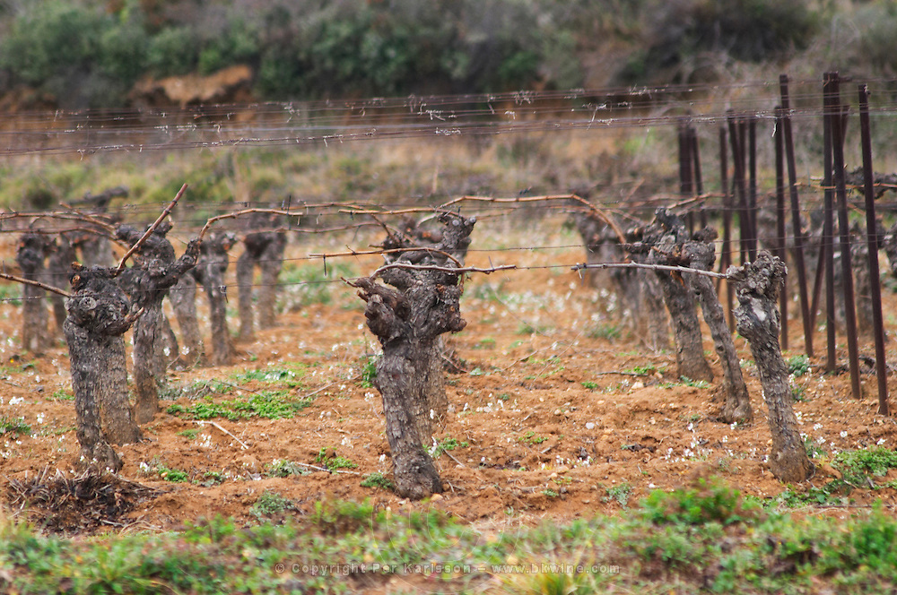 Chateau St Martin de la Garrigue. Languedoc. Vines trained in Guyot cane pruning. Old, gnarled and twisting vine. Terroir soil. France. Europe. Vineyard.