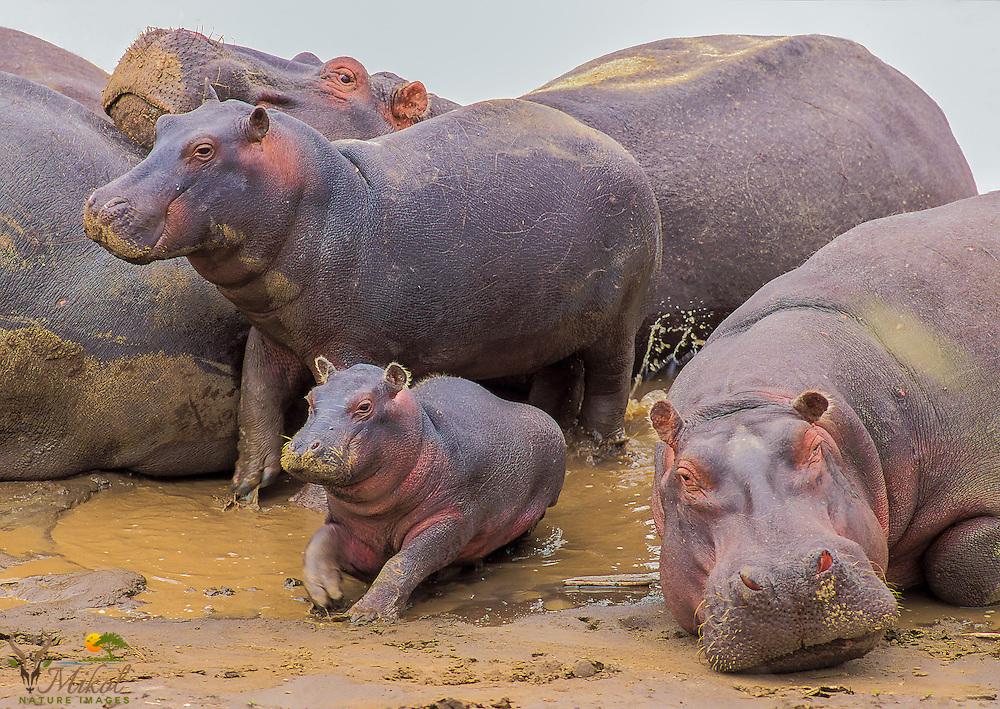 Hippoptamuses resting in riverbank mud with calf