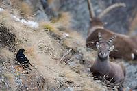 02.11.2008.Alpine Chough (Pyrrhocorax graculus) together with Alpine Ibex (Capra ibex)..Gran Paradiso National Park, Italy