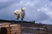 USA, Colorado, Mt. Evans, Mountain Goat (Oreamnus americanus) standing on top of building