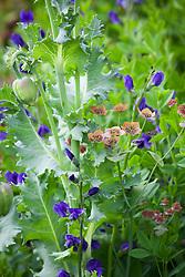 Baptisia australis 'Exaltata' AGM (False indico) with Bupleurum longifolium and Papaver somniferum (Opium poppy)