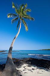 Coconut Palm, Cocos nucifera, Pu`uhonua o Honaunau or Place of Refuge National Historical Park, Honaunau, Big Island, Hawaii