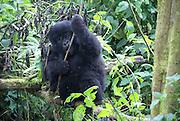 Rwanda, Volcanoes National Park (Parc National des Volcans) gorilla