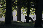 A grazing red deer stag is silhouetted in woodland shortly after sunrise on 17 September 2020 in Windsor, United Kingdom. The deer park enclosure in Windsor Great Park is home to a herd of around 500 red deer descended from forty hinds and two stags introduced in 1979 by the Duke of Edinburgh.