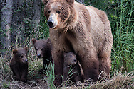 Bear 402 with her four spring cubs (one behind her), summer 2018.