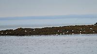 Common Eider (Somateria mollissima). Vigur Island Field Trip.  Isafjordur, Iceland. Image taken with a Nikon Df camera and 70-200 mm f/4 VR lens.