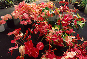 Anthuriums, Hilo, Island of Hawaii<br />