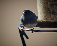 Dark-eyed Junco. Image taken with a Nikon D5 camera and 600 mm f/4 VR lens (ISO 320, 600 mm, f/4, 1/1250 sec).