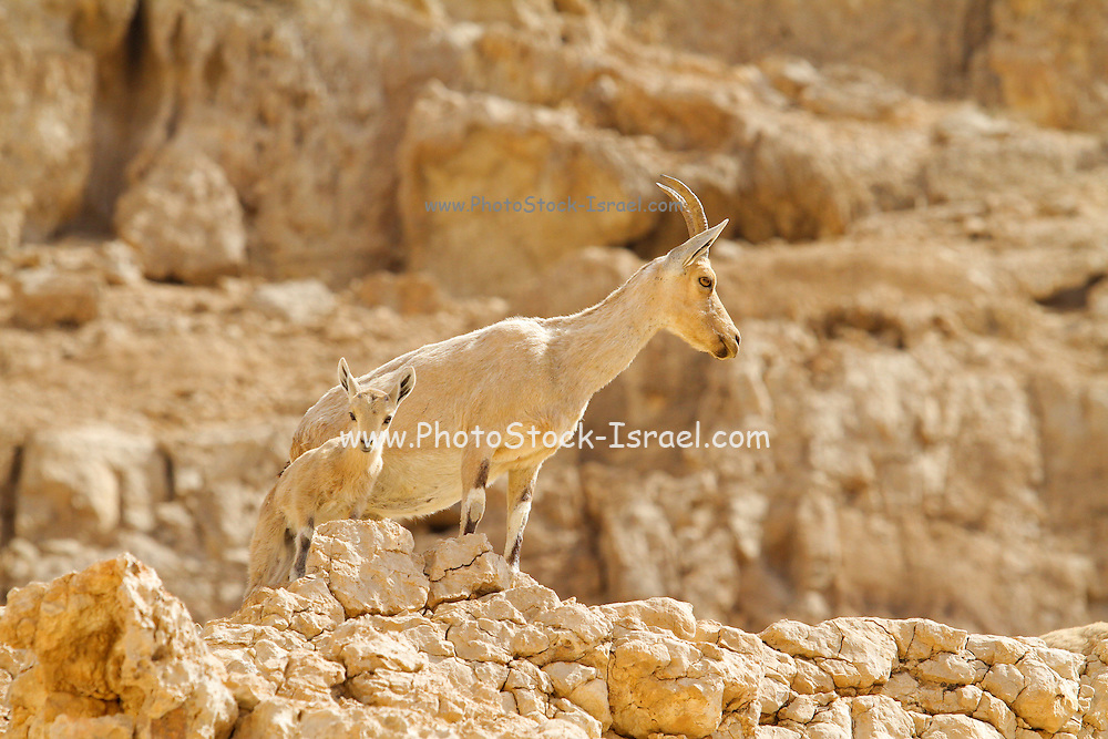 Israel, Negev, female Nubian Ibex (Capra ibex nubiana AKA Capra nubiana) with her young