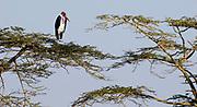 Marabou Stork (Leptoptilos crumeniferus) resting in tree-tops in Serengeti, Tanzania.