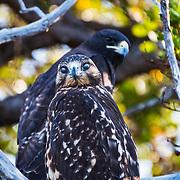 Galapagos hawks (Buteo galapagoensis) perched in a tree, Santiago Island, Galapagos, Ecuador.