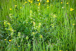 Rhinanthus minor. Yellow rattle