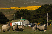 Sheep, some of which have double fleeces, having escaped shearing one year.<br /> West Point Island. Off of West Falkland. FALKLAND ISLANDS.