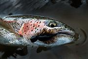 Mouse trout
