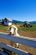 Image of a goat at the petting farm of Blue Heron French Cheese Company in Tillamook, Oregon, Pacific Northwest by Andrea Wells