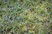 A detail of wet garden grass and moss.