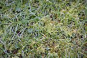 A detail of wet garden grass and moss.