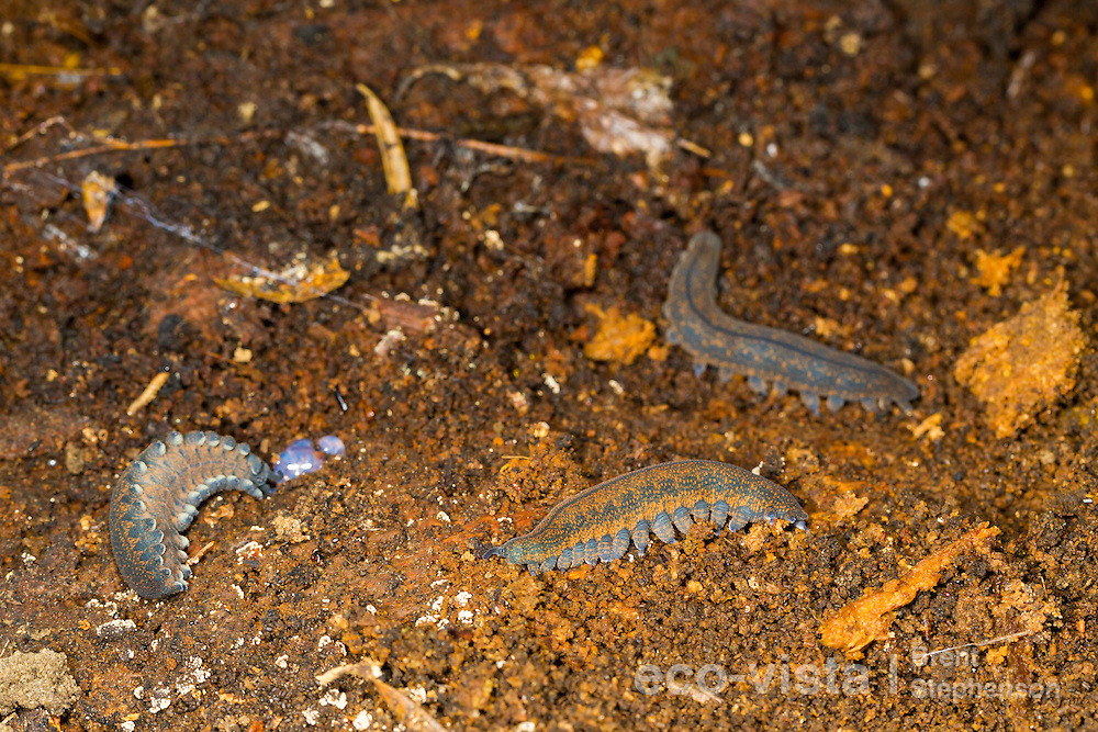 Three New Zealand peripatus or velvet-worms (Peripatoides novaezealandiae) are uncovered amongst wooden debris in a rotten log on the forest floor. Kahuranaki, Hawkes Bay, New Zealand. September.