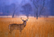 White-tailed deer in field in early morning.