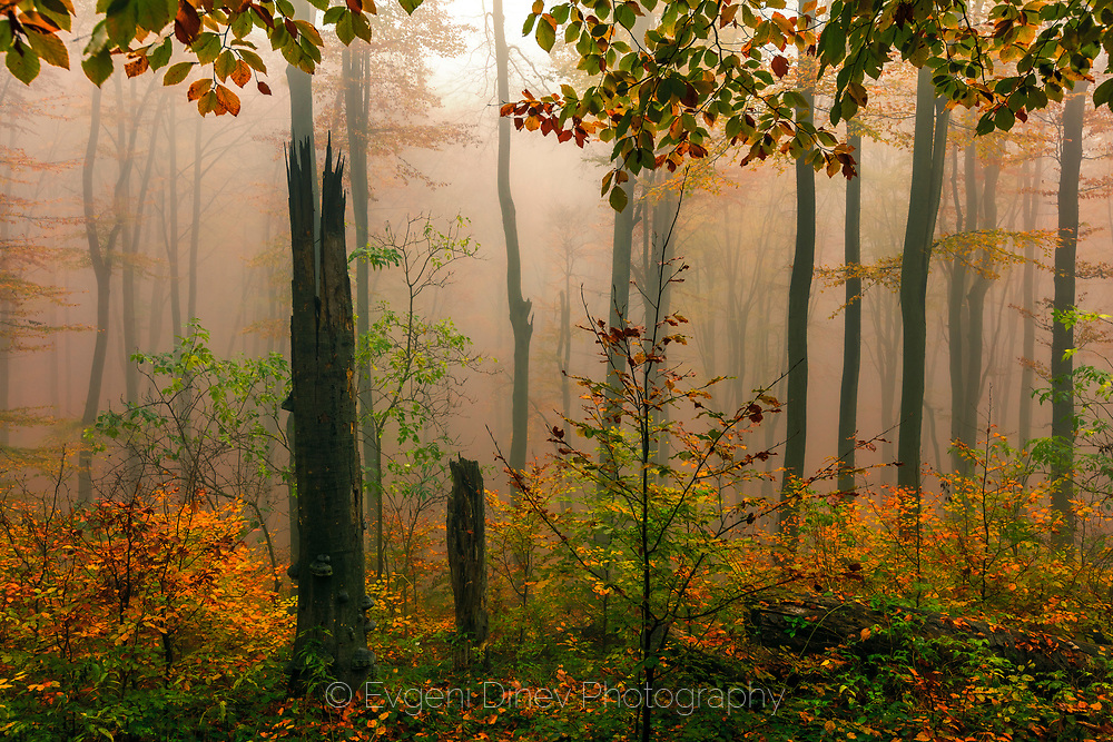 Forest with red beech trees in foggy autumn time