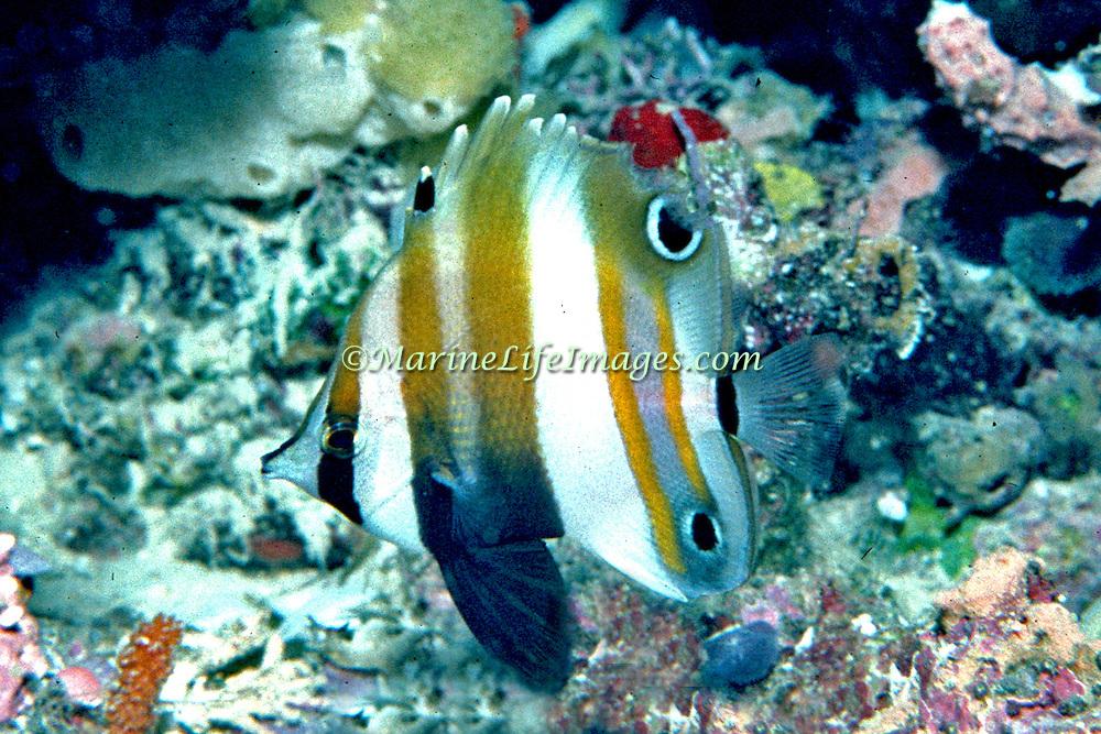 Two Eyed Coralfish inhabit reefs. Picture taken PNG.