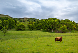 THEMENBILD - Schottische Hochlandrinder auf einer Weide nahe Fort William, Schottland, aufgenommen am 13.06.2015 // Scottish Highland cattle on a pasture near Fort William, Scotland on 2015/06/13. EXPA Pictures © 2015, PhotoCredit: EXPA/ JFK