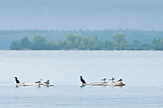 Double-crested cormorant (Phalacrocorax auritus) and Ring-billed gull (Larus delawarensis) on rocky shoal of Lake of The Woods<br />Lake of The Woods Region<br />Ontario<br />Canada