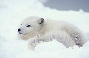 Arctic Fox (Alopex lagopus) - Minnesota, in snowy landscape, white, coat,fur