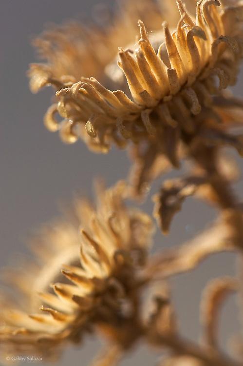 Dried flowers, Badlands National Park, South Dakota, USA.