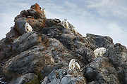 Seven Mountain Goats atop Look Out Rock in the Snake River Canyon near Jackson Hole, WY