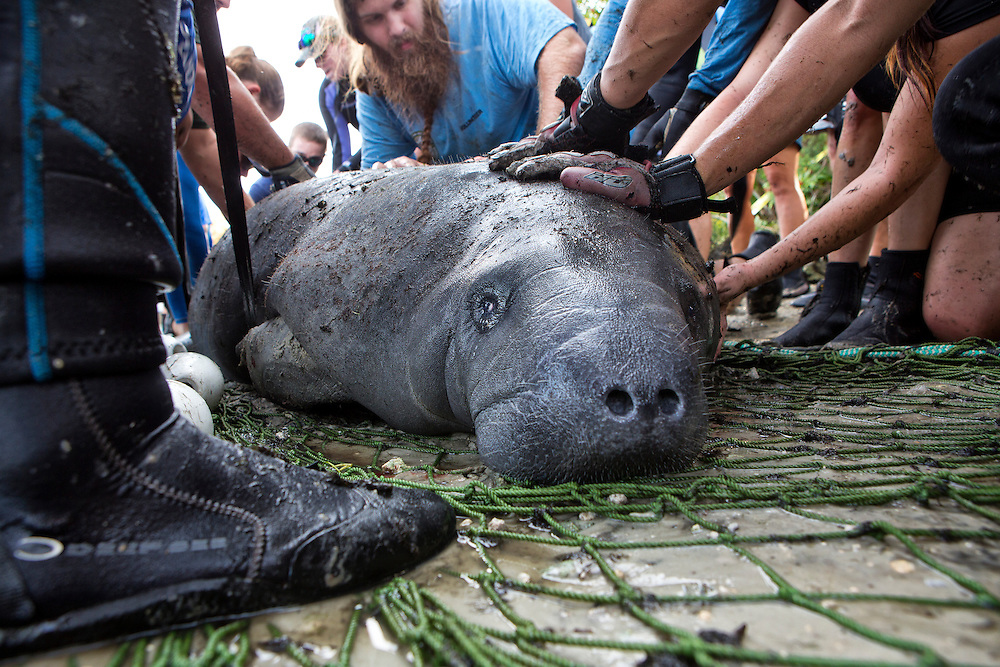 """Portrait of a West Indian manatee or """"Sea Cow"""" (Trichechus manatus), being touched by human hands while   Volunteer workers with the USGS stabilize it during a health assessment.  Crystal River, Three Sisters Spring, Florida."""