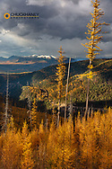 Autumn larch trees above Hungry Horse Reservoir in  the Flathead National Forest, Montana, USA