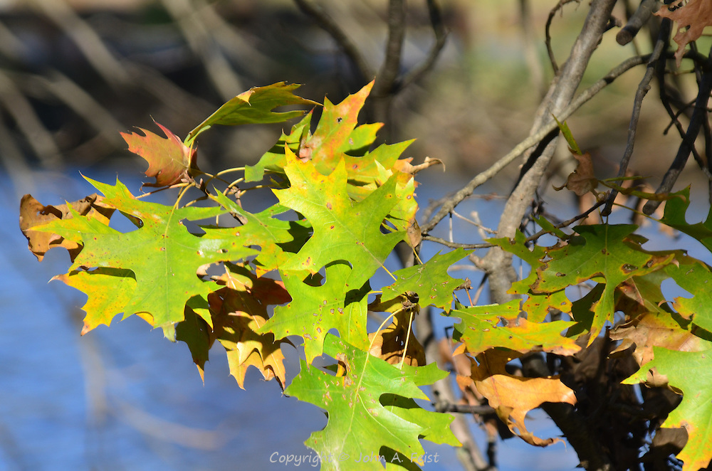 The sun illuminating a cluster of oak leaves.  Some have turned completely, others barely started.  Hillsborough, NJ
