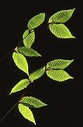 Light shines through spring elm leaves, Pennsylvania Susquehanna Valley, PA Spring, Pennsylvania