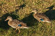 Female mallard (Anas platyrhynchos) duck<br />Milford Bay<br />Ontario<br />Canada