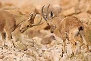Israel, Negev, Nubian Ibex (Capra ibex nubiana AKA Capra nubiana) Two young specimens fighting