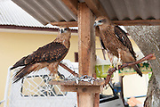 Fish eagles held as pets by traditional fishermen in the village of Reboh, Bangka Belitung Islands, Indonesia. <br /> <br /> Aigles gardés par des pêcheurs traditionnels, village Reboh, îles Bangka Belitung, Indonésie.