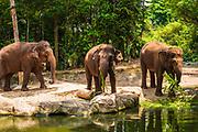 Asian elephants at the Singapore Zoo, Singapore, Republic of Singapore