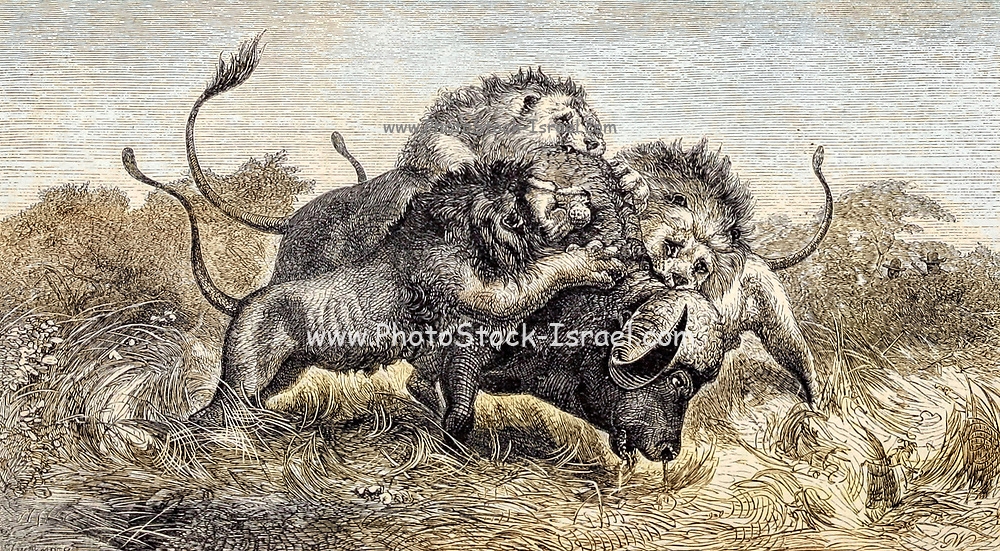 Machine Colorized Three Lions attempting to drag down a Buffalo From the Book ' Missionary travels and researches in South Africa ' including Sixteen Years Residence in the Interior of Africa. by Dr. David Livingstone Published in New York by Harper & Brothers 1858